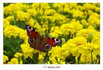 Title: European Peacock and Marigold flowersSony Cybershot DSC-P150