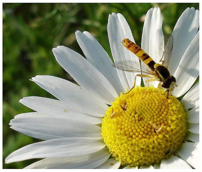 Hoverfly and Daisy