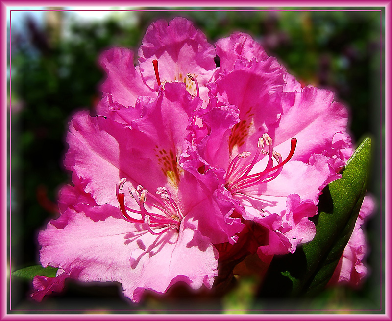The soft rhododendron