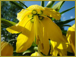 Title: Her Majesty Fritilaria imperialis