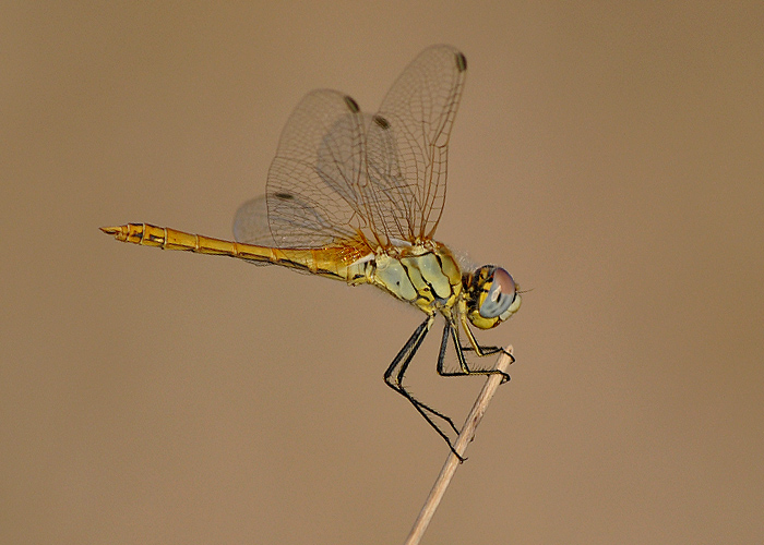 dragonfly for