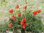 Title: Corn Poppy in Hierapolis