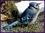Title: Bill the Blue Jay