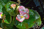 Title: Begonia.Canon EOS 600D