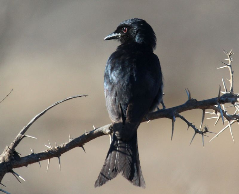 Forked Drongo