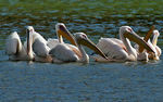 Title: Great White Pelican.Canon Digital Rebel XT 350D