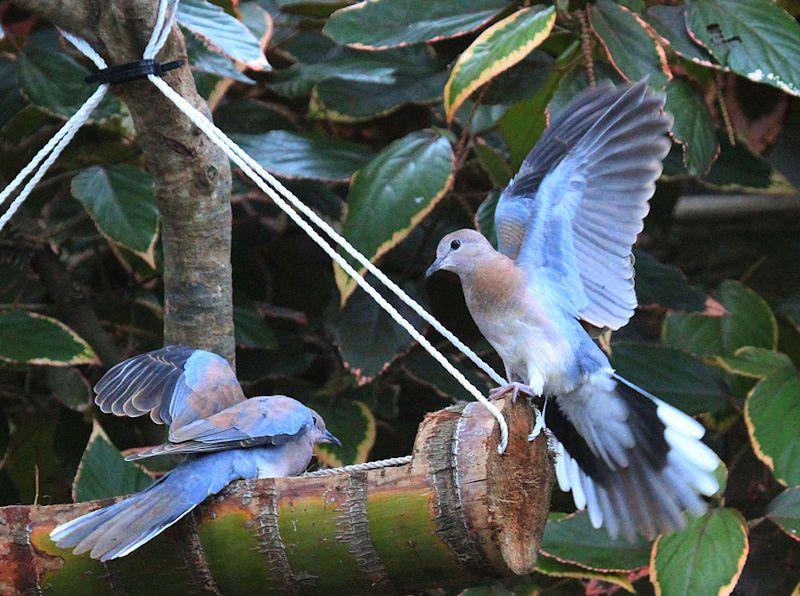 Laughing Doves.