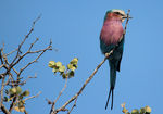 Title: Lilac - Breasted Roller.Canon EOS 600D