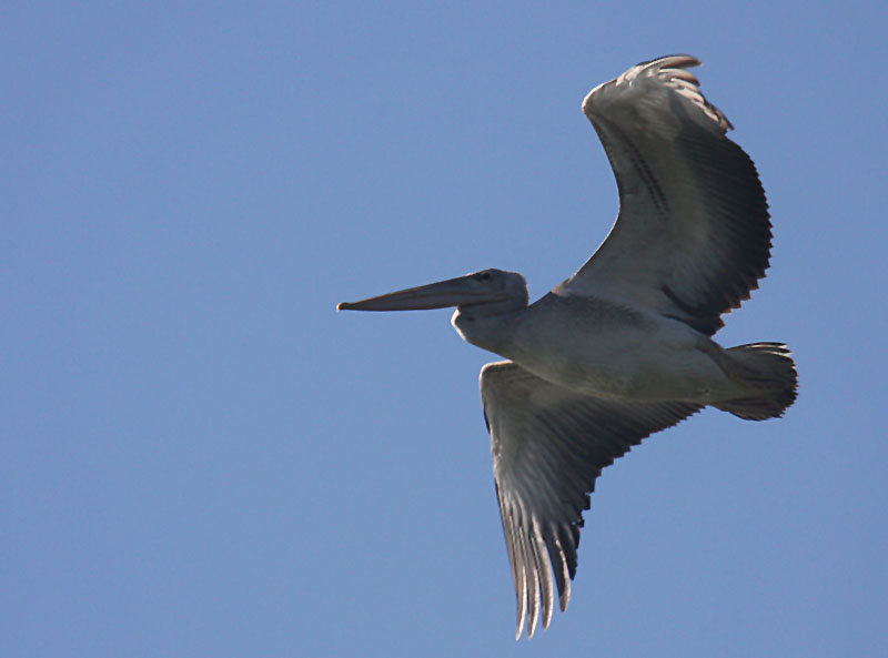 Pink Backed Pelican.