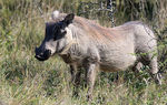 Title: Warthog.Canon EOS 600D