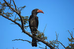 Title: Red Billed Hornbill
