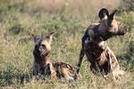 Title: Wild Dogs.Canon EOS 600D