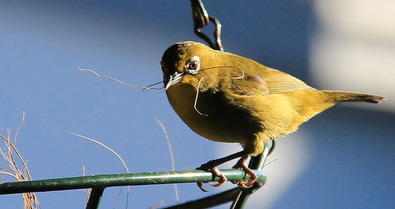 Cape White Eye.