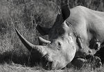 Title: Wounded Rhino