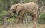 Title: Young Elephant.Canon EOS 600D