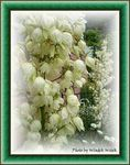 Title: white flowers 1