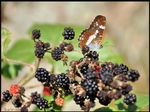Title: butterfly and fruit