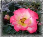 Title: Rose and frost...