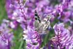 Title: Vicia & Butterfly