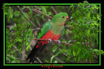 Title: King Parrot