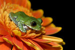 Title: peacock frog on orange flower