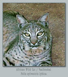 Title: African Wild cat