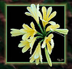Title: Mellow Yellow - Clivia