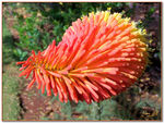 Title: Red hot poker 1