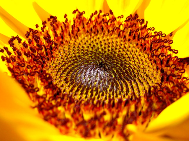 The inside of a sunflower.