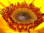 Title: The inside of a sunflower.