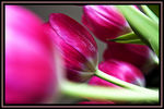 Title: Tulips too