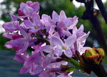 Title: Lilac