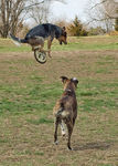 Title: High-flying Canine