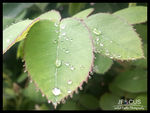 Title: drops and leavesSamsung Galaxy S4