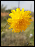 Title: yellow flower 2Samsung Galaxy S4