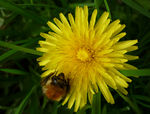 Title: Dandelion and Bee