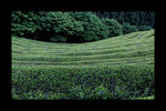 Title: Green Tea farm