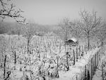 Title: Snowy vineyard