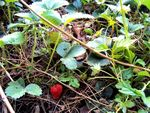 Title: strawberry on the ground