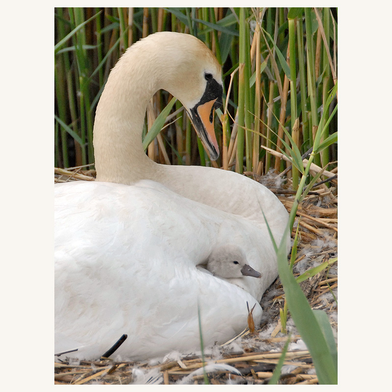 litle swan first looks