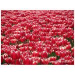 Title: Red tulips with white edge