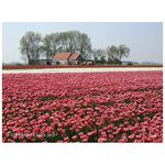 Title: Tulipfield with farm
