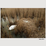 Title: swan next to nest with 7 eggs