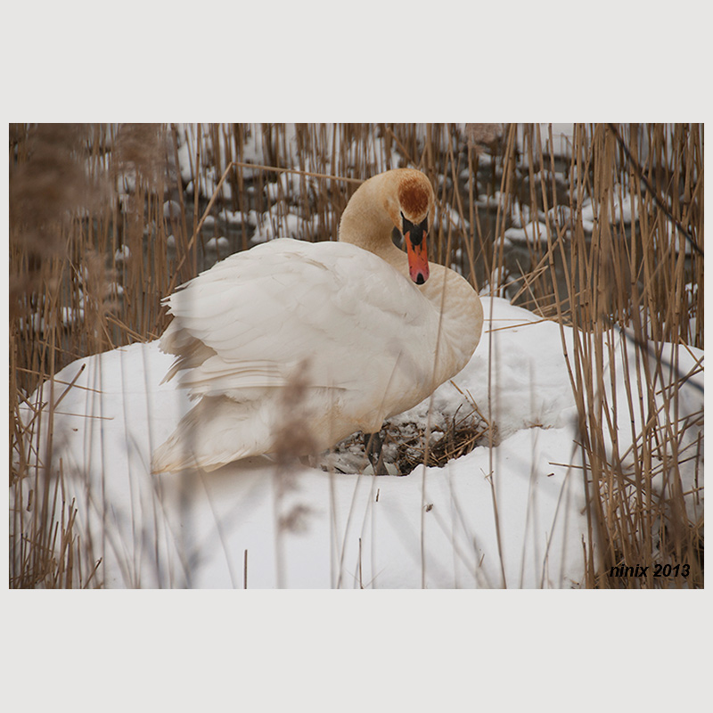 Swan on nest in the snow