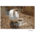 Title: swan on nest with 8 eggs