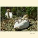 Title: LlTTLE SWANS ON NESTNikon D200
