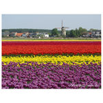 Title: Tuliptime Holland 2011canon powershot SX210IS