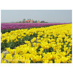 Title: YELLOW AND PURPLE TULIPS