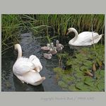 Title: First swan swimming lessonMinolta Dimage Z2