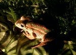 Title: Bell Frog
